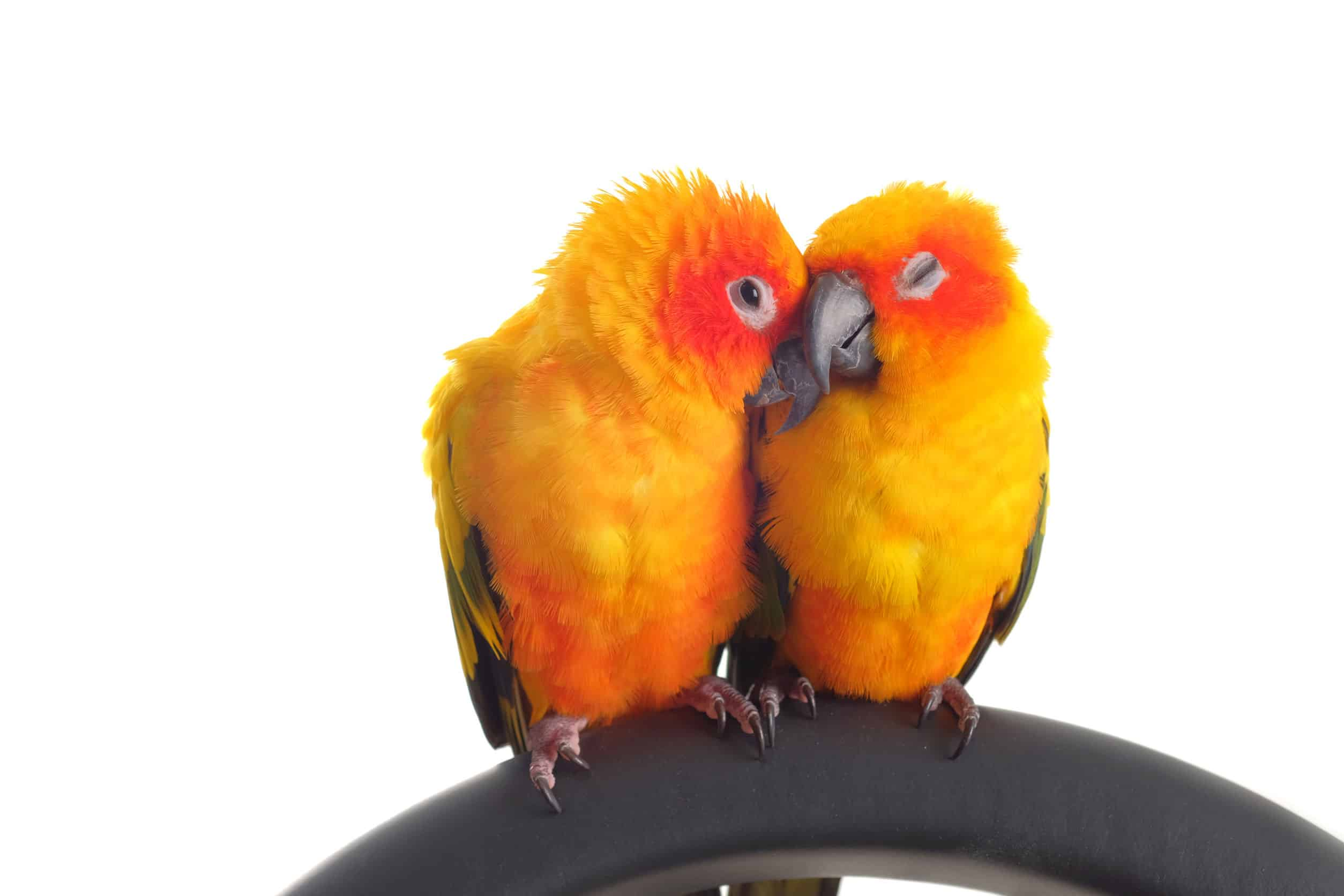 36982706 - isolated of lovely sun conure in pair